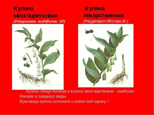 Купена многоцветковая (Polygonatum multiflorum All) Купена лекарственная (Po...