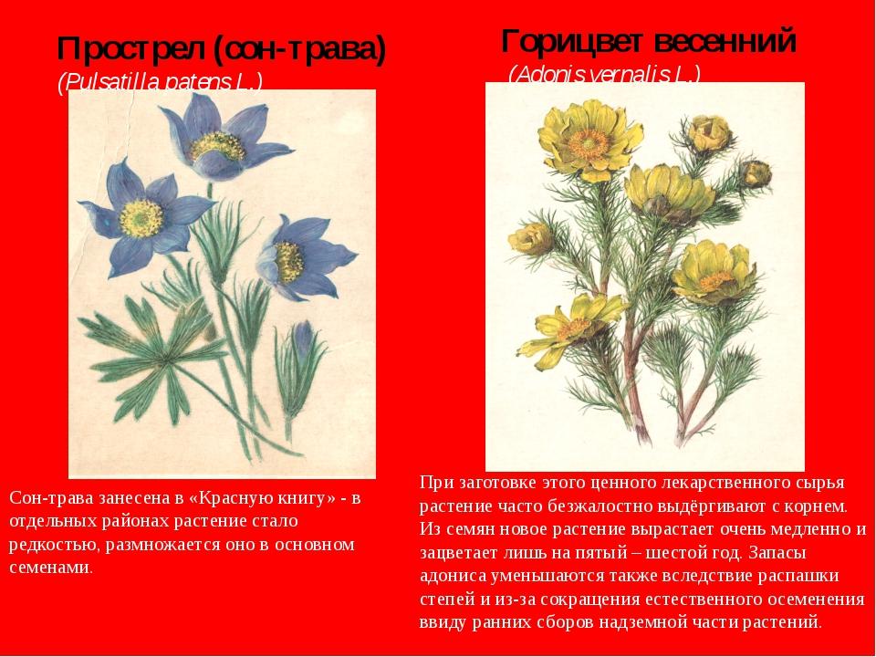 Прострел (сон-трава) (Pulsatilla patens L.) Горицвет весенний (Adonis vernal...