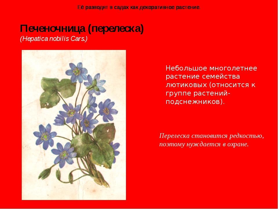 Печеночница (перелеска) (Hepatica nobilis Cars.) Перелеска становится редкос...