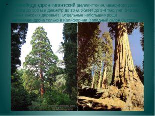 Секвойядендрон гигантский (веллингтония, мамонтово дерево), высота до 100 м и