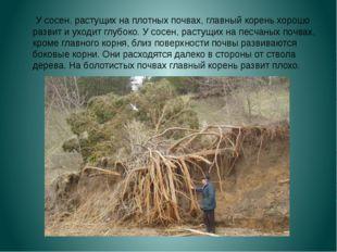 У сосен, растущих на плотных почвах, главный корень хорошо развит и уходит г