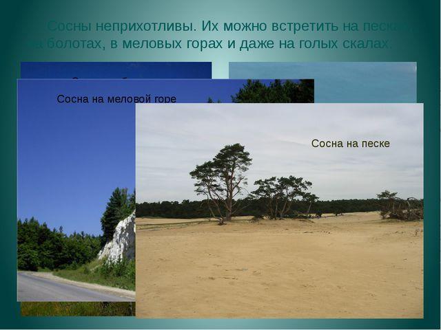 Сосны неприхотливы. Их можно встретить на песках, на болотах, в меловых гора...