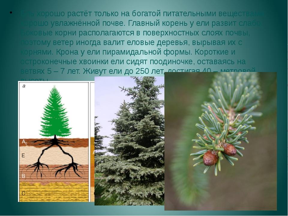 Ель хорошо растёт только на богатой питательными веществами, хорошо увлажнённ...