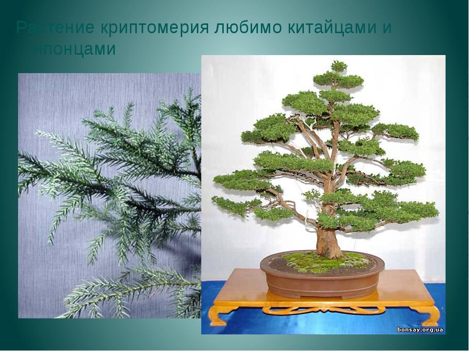 Растение криптомерия любимо китайцами и японцами