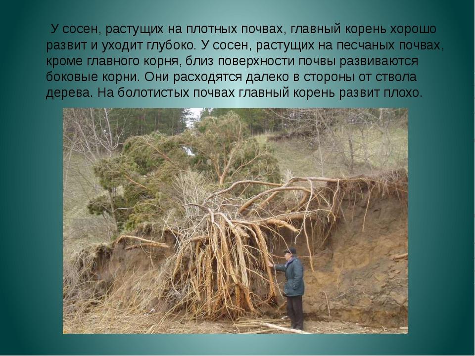 У сосен, растущих на плотных почвах, главный корень хорошо развит и уходит г...