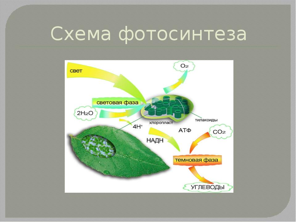 схема процесса фотосинтеза настоящий