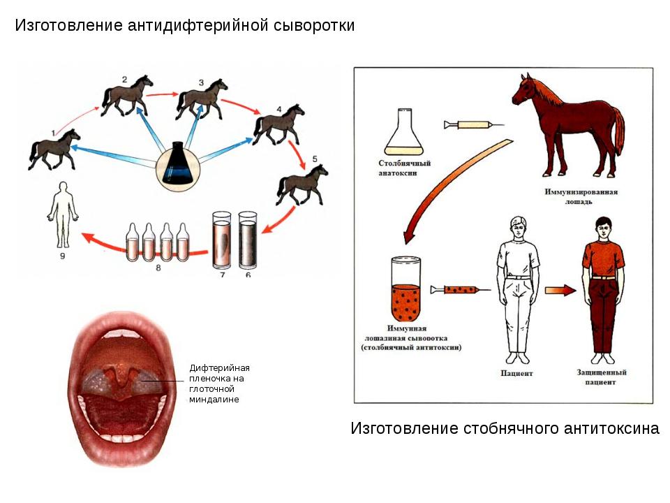Изготовление антидифтерийной сыворотки Изготовление стобнячного антитоксина
