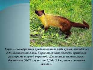 Харза – своеобразный представитель рода куниц, выходец из Юго-Восточной Азии.