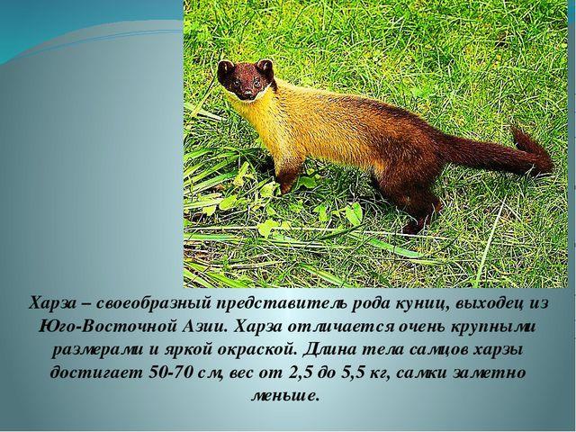 Харза – своеобразный представитель рода куниц, выходец из Юго-Восточной Азии....