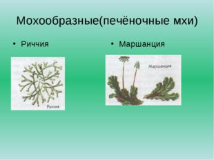 Мохообразные(печёночные мхи) Риччия Маршанция