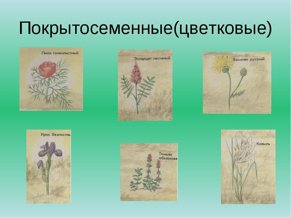 Покрытосеменные(цветковые)