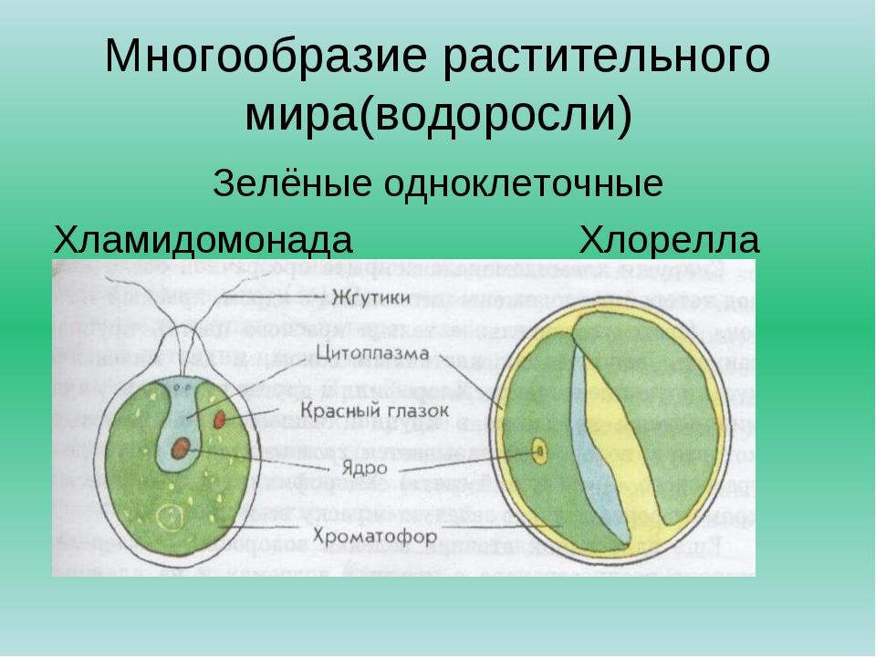 Многообразие растительного мира(водоросли) Зелёные одноклеточные Хламидомонад...