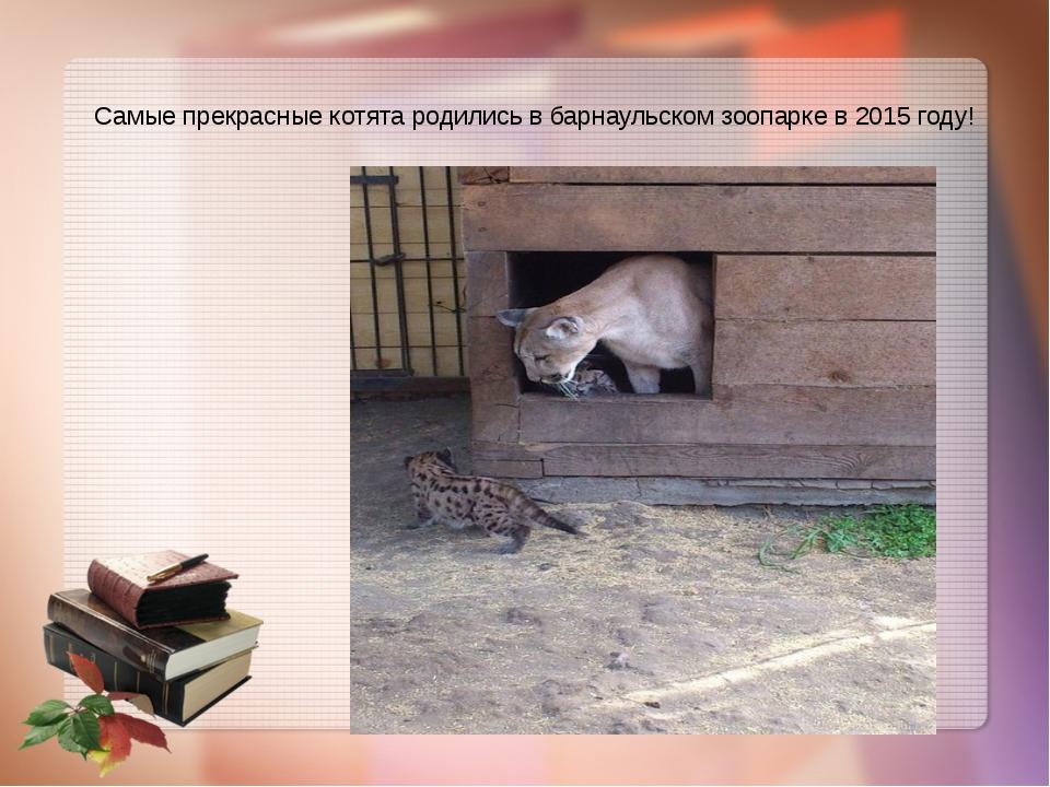 Самые прекрасные котята родились в барнаульском зоопарке в 2015 году!