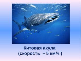 Китовая акула (скорость – 5 км/ч.)