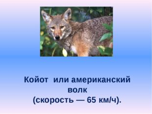 Койот или американский волк (скорость — 65 км/ч).