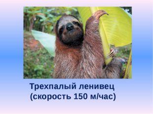 Трехпалый ленивец (скорость 150 м/час)