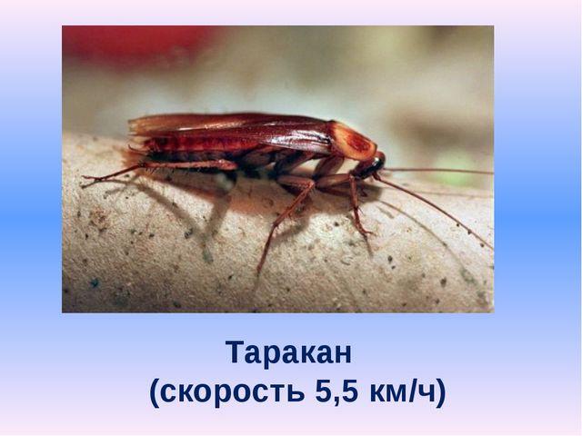 Таракан (скорость 5,5 км/ч)
