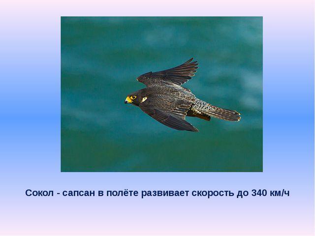 Сокол - сапсан в полёте развивает скорость до 340км/ч
