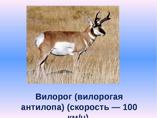 Вилорог (вилорогая антилопа) (скорость — 100 км/ч).