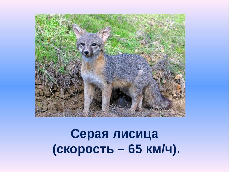 Серая лисица (скорость – 65 км/ч).
