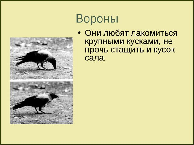 Вороны Они любят лакомиться крупными кусками, не прочь стащить и кусок сала.