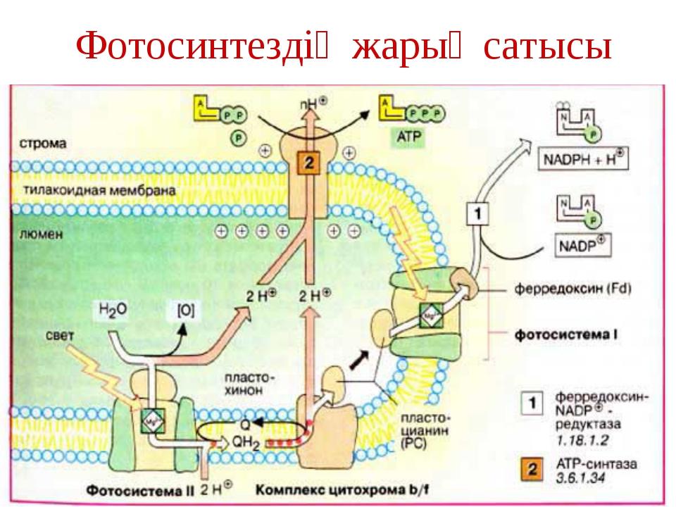 Фотосинтездің жарық сатысы