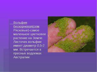 Вольфия бескорневая(сем. Рясковые)-самое маленькое цветковое растение на Зем
