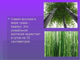 Самая высокая в мире трава – бамбук. Это уникальное растение вырастает в сутк