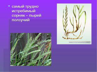 самый трудно истребимый сорняк – пырей ползучий
