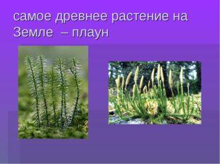 самое древнее растение на Земле – плаун