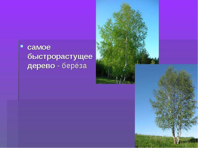 самое быстрорастущее дерево - берёза