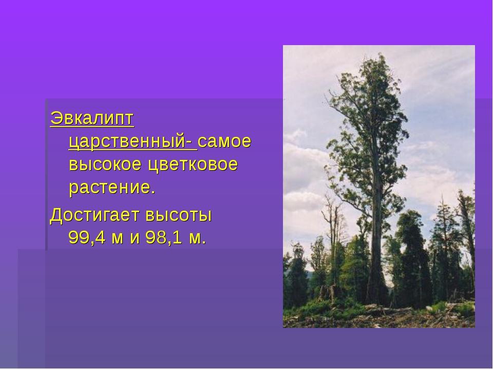 Эвкалипт царственный- самое высокое цветковое растение. Достигает высоты 99,4...