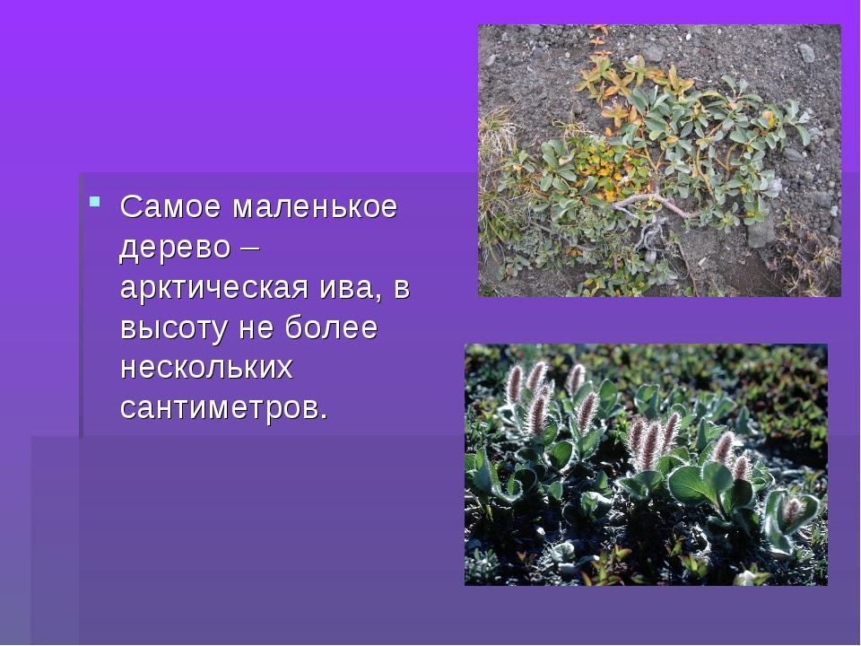 Самое маленькое дерево – арктическая ива, в высоту не более нескольких сантим...