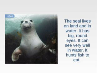 The seal lives on land and in water. It has big, round eyes. It can see very