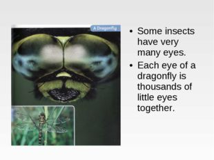 Some insects have very many eyes. Each eye of a dragonfly is thousands of lit