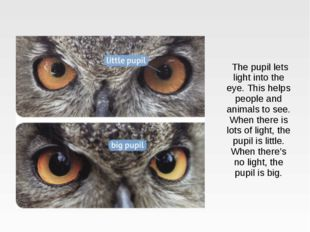 The pupil lets light into the eye. This helps people and animals to see. Whe