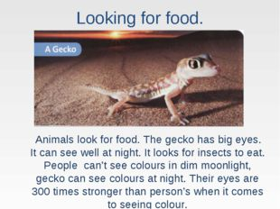 Looking for food. Animals look for food. The gecko has big eyes. It can see w
