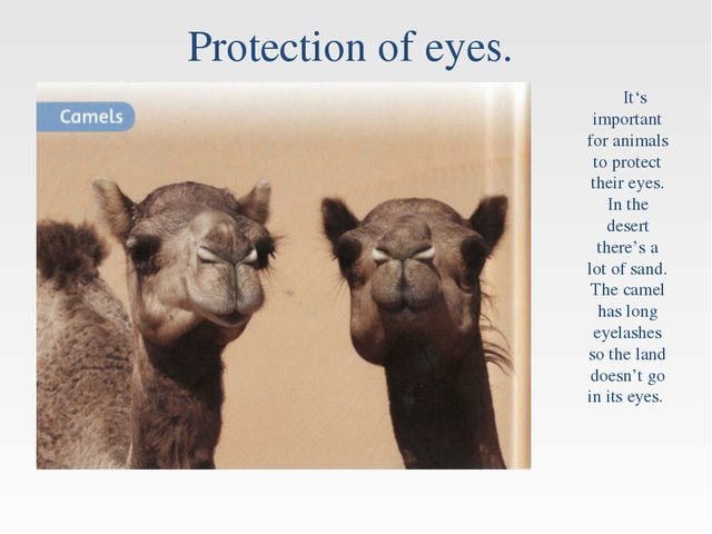 Protection of eyes. It's important for animals to protect their eyes. In the...