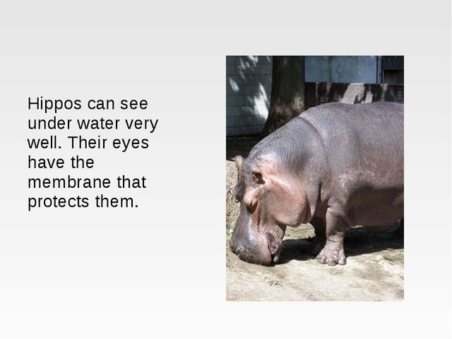 Hippos can see under water very well. Their eyes have the membrane that prote...