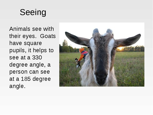 Seeing Animals see with their eyes. Goats have square pupils, it helps to see...