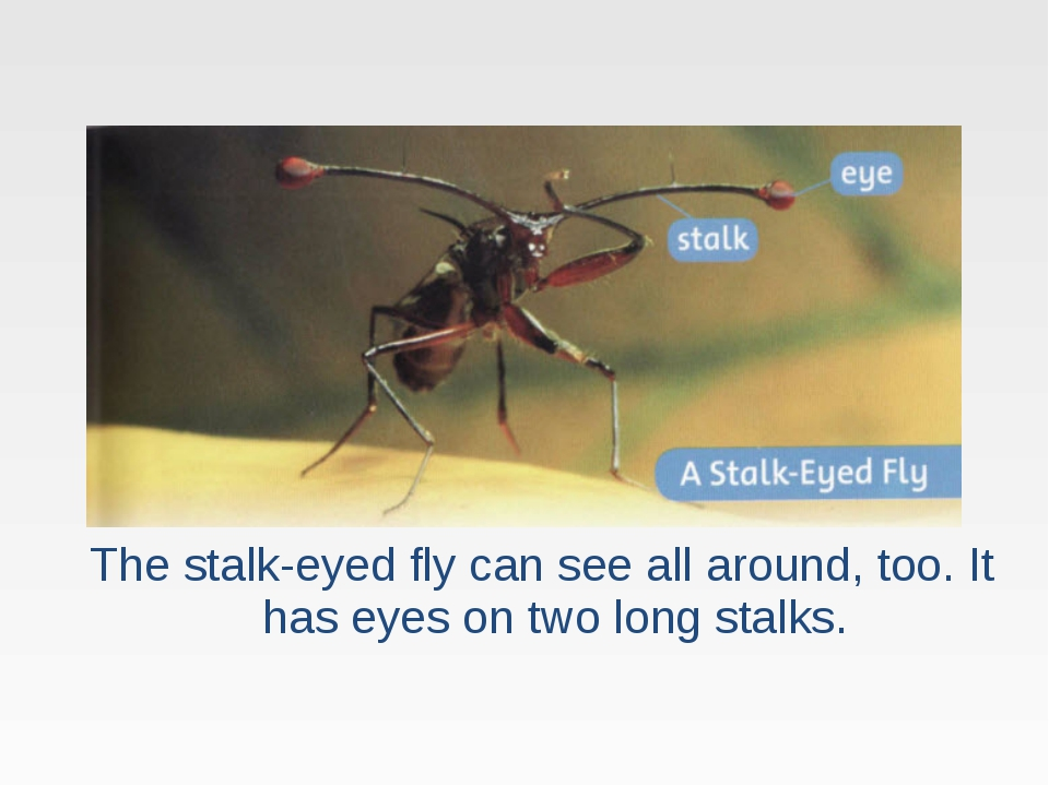 The stalk-eyed fly can see all around, too. It has eyes on two long stalks.