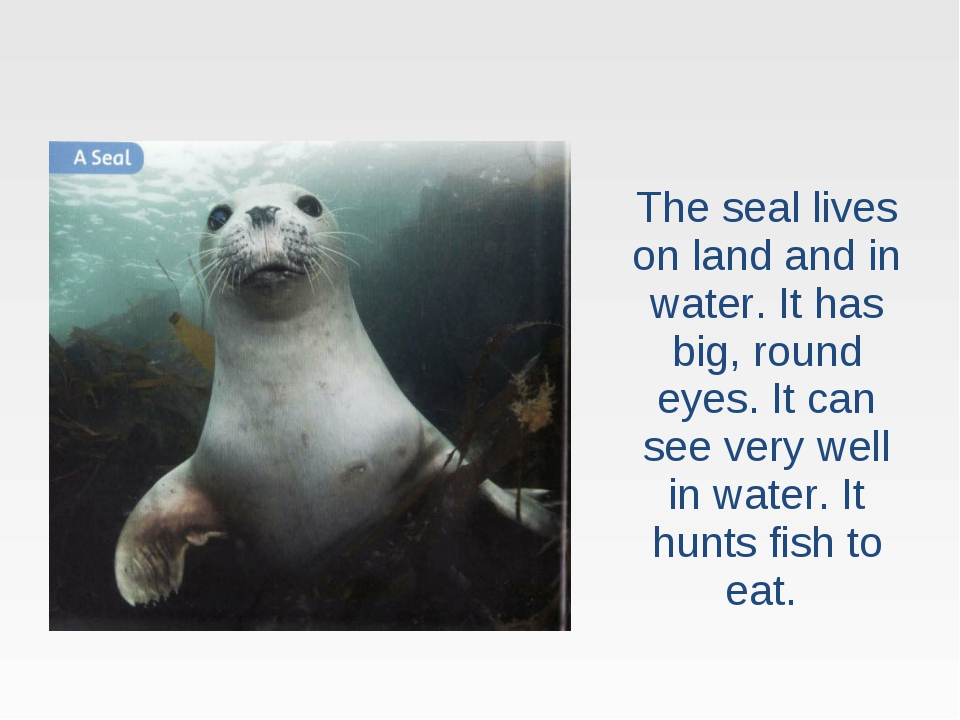 The seal lives on land and in water. It has big, round eyes. It can see very...