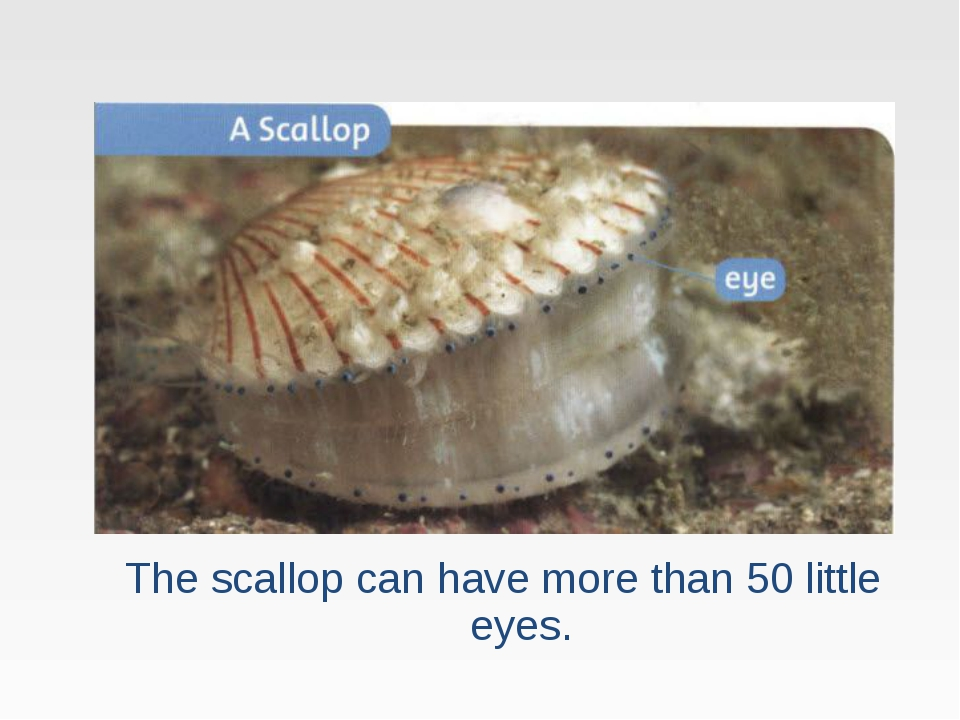 The scallop can have more than 50 little eyes.