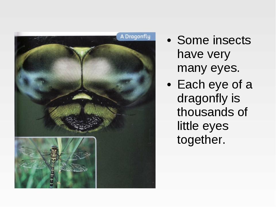 Some insects have very many eyes. Each eye of a dragonfly is thousands of lit...