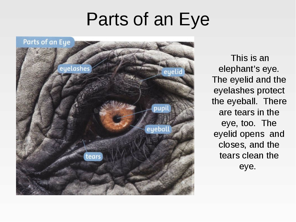 Parts of an Eye This is an elephant's eye. The eyelid and the eyelashes prote...