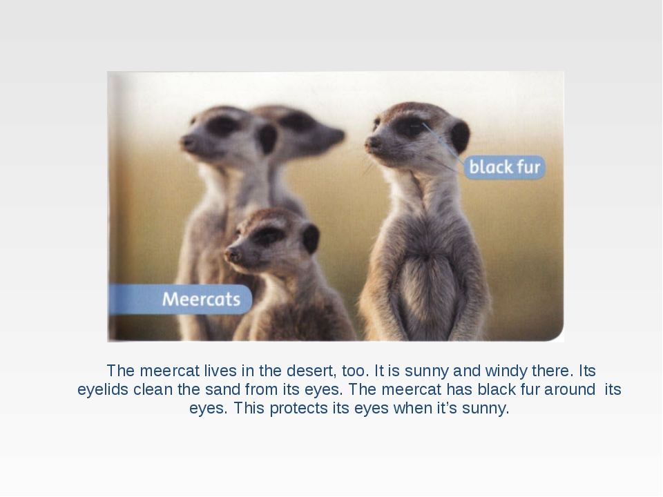 The meercat lives in the desert, too. It is sunny and windy there. Its eyeli...