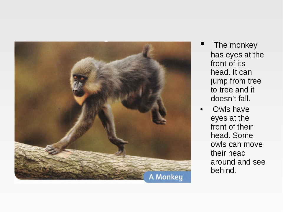The monkey has eyes at the front of its head. It can jump from tree to tree...