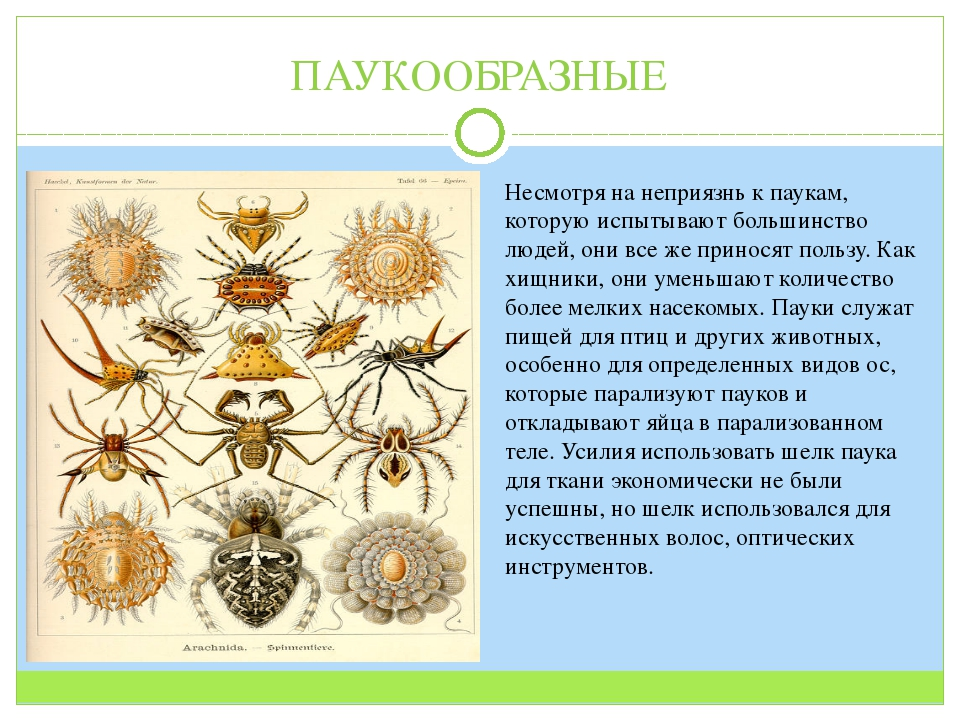 ПАУКООБРАЗНЫЕ Несмотря на неприязнь к паукам, которую испытывают большинство...