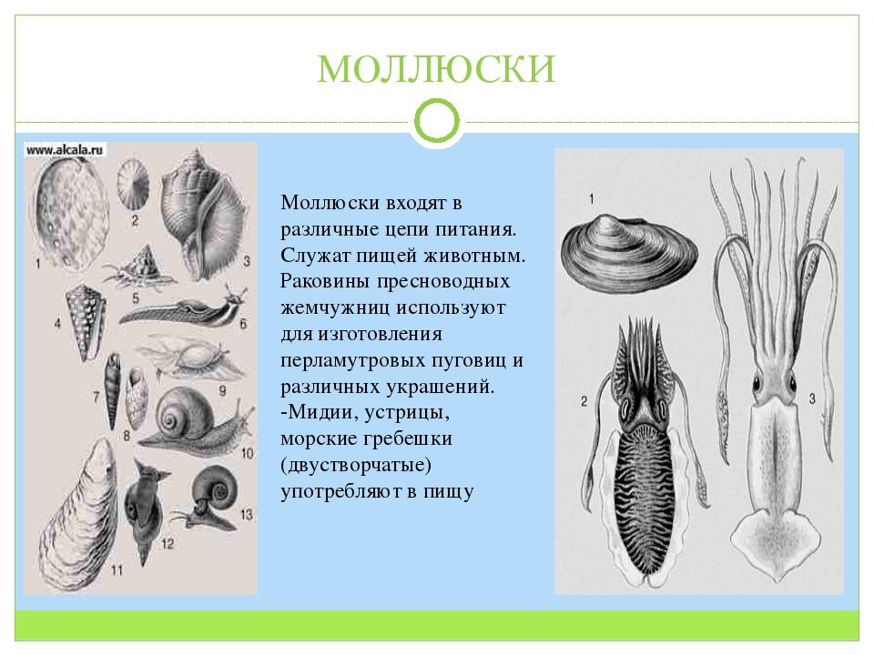 МОЛЛЮСКИ Моллюски входят в различные цепи питания. Служат пищей животным. Рак...