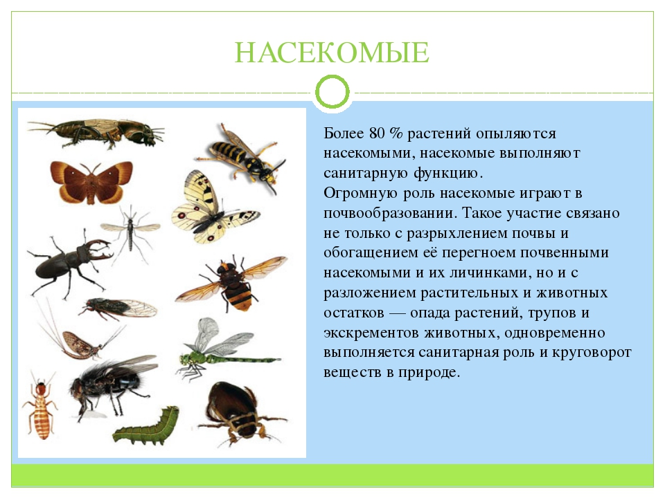 НАСЕКОМЫЕ Более 80 % растений опыляются насекомыми, насекомые выполняют санит...